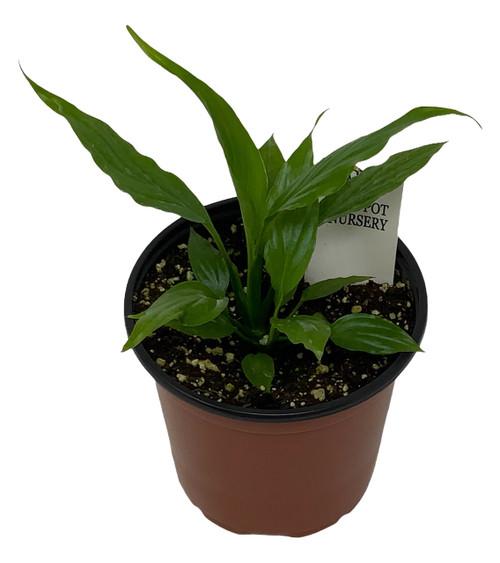 "FlowerPotNursery Spathiphyllum Petite Peace Lily Spathiphyllum sp. Petite 4"" Pot"