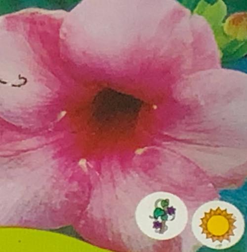 """FlowerPotNursery Allamanda Cherries Jubilee Allamanda cathartica C. J. 4"""" Pot"""