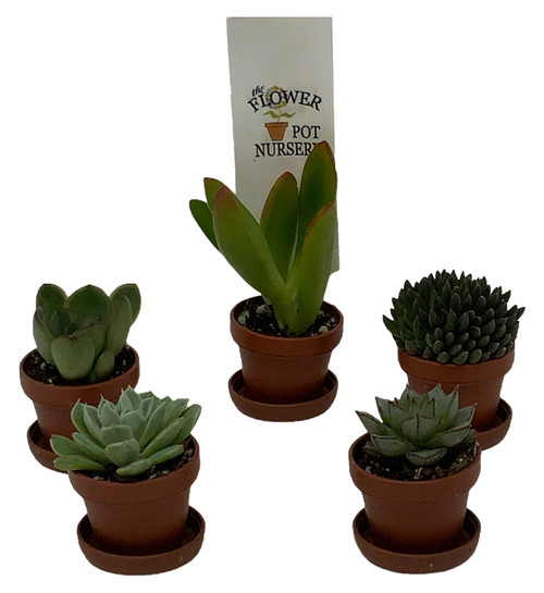 "FlowerPotNursery Assorted Succulents Spp. spp. 1"" Pot with Saucer 5 Pack"