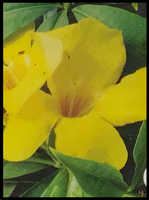 "FlowerPotNursery Golden Butterfly Allamanda Allamanda sp Golden Butterfly 4"" Pot"