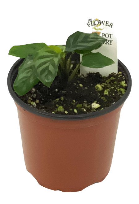 "FlowerPotNursery Calathea Freddie Calathea Concinna Freddie 4"" Pot"