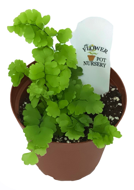 "FlowerPotNursery Pacifica Maidenhair Fern Adiantum sp. Pacifica 4"" Pot"
