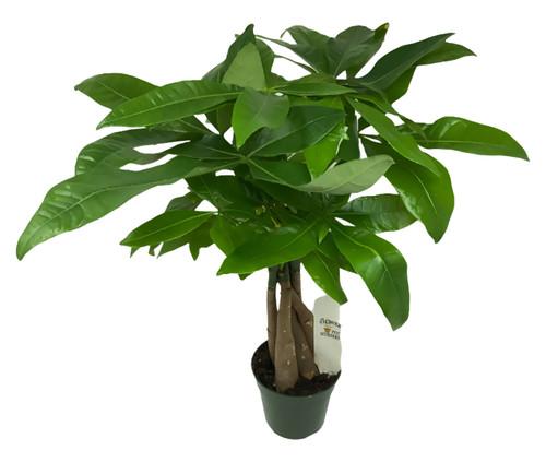 "FlowerPotNursery Lucky Money Tree Plant Braided Pachira aquatica 4"" Pot"