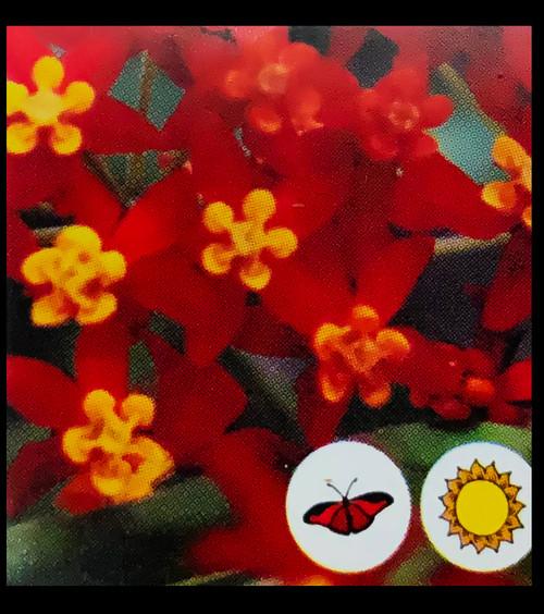 "FlowerPotNursery Red Milkweed Asclepias curassavica Red 4"" Pot"