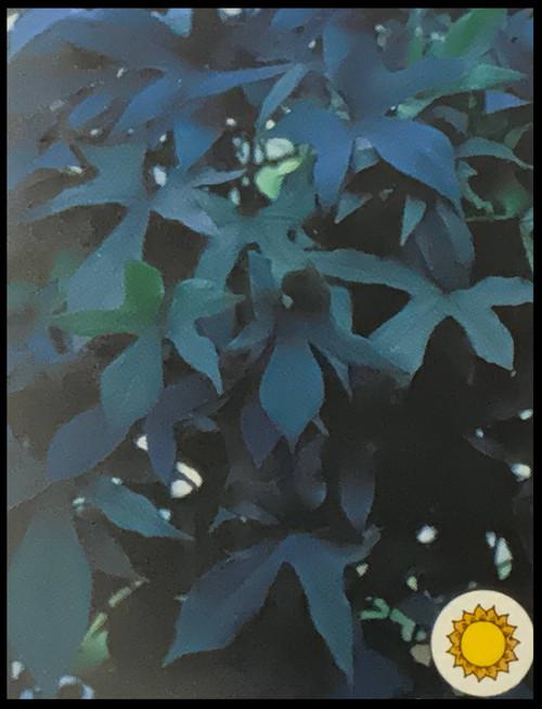 "FlowerPotNursery Blackie Sweet Potato Vine Ipomoea batatas Blackie 4"" Pot"