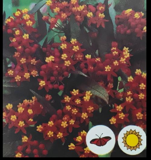 "FlowerPotNursery Silky Red Milkweed Asclepias curassavica Silky Red 4"" Pot"