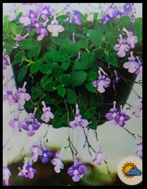 "FlowerPotNursery Concord Blue Streptocarpella Streptocarpus saxorum C.B. 4"" Pot"