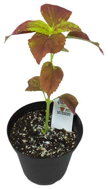 "FlowerPotNursery Coleus Alabama Sunset Coleus scutellarioides Alabama S. 4"" Pot"