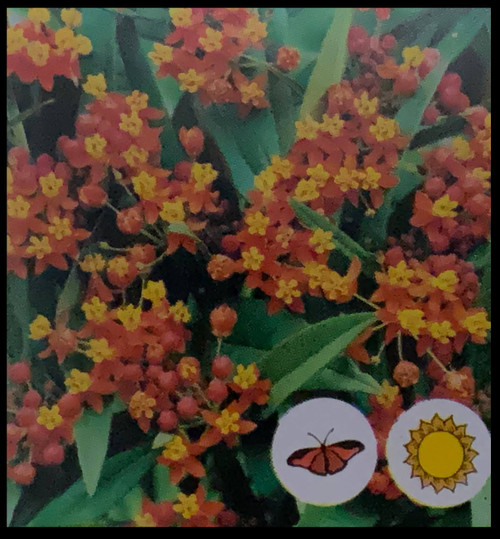 "FlowerPotNursery Orange Milkweed Asclepias tuberosa Orange 4"" Pot"