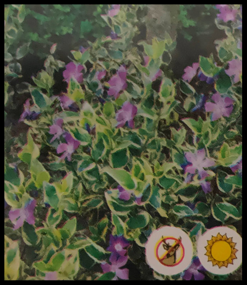 "FlowerPotNursery Variegated Vinca Vinca major Variegata 4"" Pot"