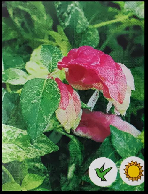 """FlowerPotNursery Variegated Shrimp Plant Justicia brandegeana Variegata 4"""" Pot"""