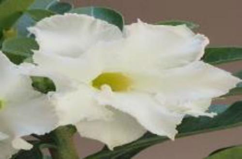 """FlowerPotNursery White Ice Desert Rose Adenium obesum White Ice 4"""" Pot"""