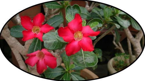 """FlowerPotNursery Deep Red Desert Rose Adenium obesum Deep Red 4"""" Pot"""