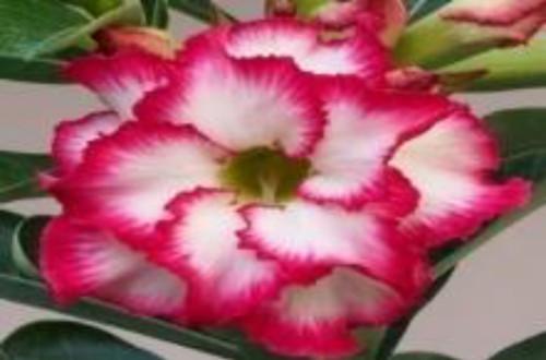 "FlowerPotNursery A X 935 Picotee Desert Rose A. obesum A X 935 Picotee 4"" Pot"