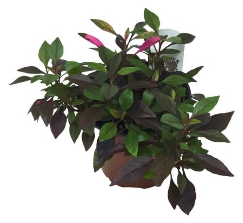 "FlowerPotNursery Joseph's Coat Red Carpet Alternanthera dentata Red C. 4"" Pot"