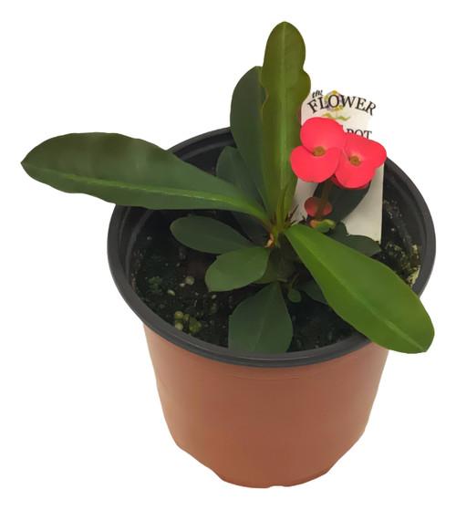 "FlowerPotNursery Zeus Crown of Thorns Euphorbia milii Zeus 4"" Pot"