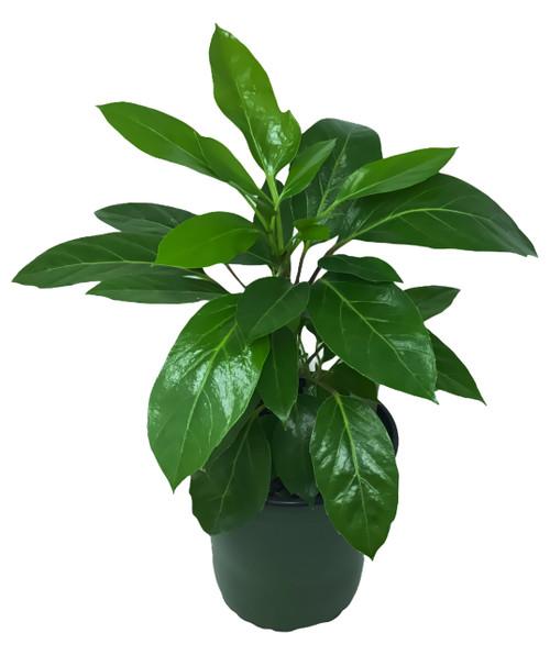 FlowerPotNursery Large Leaf Schefflera Schefflera amate 1 Gallon Pot