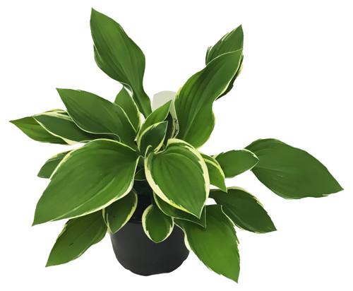 "FlowerPotNursery Hosta Francee Hosta sp. Francee 4"" Pot"