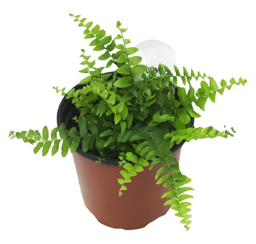 "FlowerPotNursery Super Boston Fern Nephrolepis exaltata Super Boston 4"" Pot"