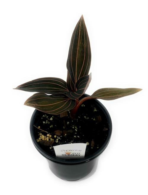 """FlowerPotNursery Black Jewel Orchid Ludisia discolor 4"""" Pot"""