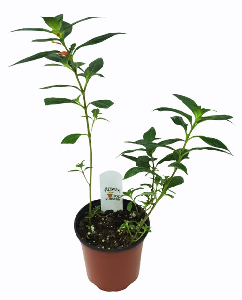 "FlowerPotNursery Cigar Plant Cuphea ignea 4"" Pot"
