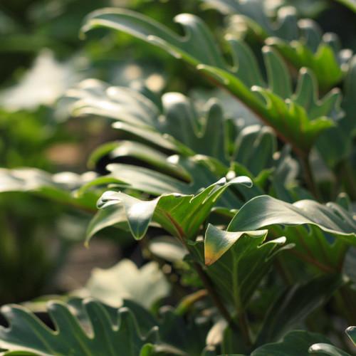 "FlowerPotNursery Philodendron Sujitha Philodendron sp. Sujitha 4"" Pot"
