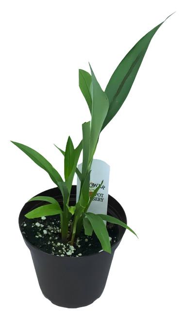 "FlowerPotNursery Siam Tulip Sunrise Curcuma alismatifolia Siam Sunrise 4"" Pot"