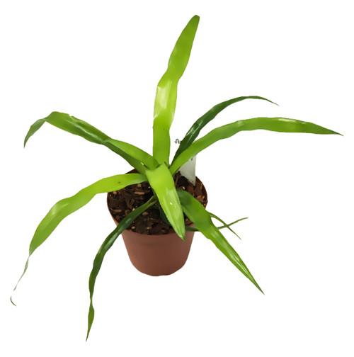 "FlowerPotNursery Blush Neoregelia Bromeliad Neoregelia Blush 4"" Pot"