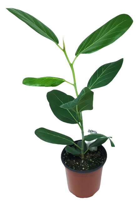 "FlowerPotNursery Ficus Audrey Ficus benghalensis Audrey 4"" Pot"