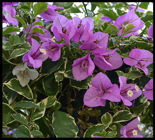 "FlowerPotNursery Blueberry Ice Bougainvillea B. sp. Blueberry Ice 4"" Pot"