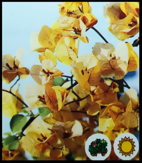 "FlowerPotNursery California Gold Bougainvillea B. sp. California Gold 4"" Pot"