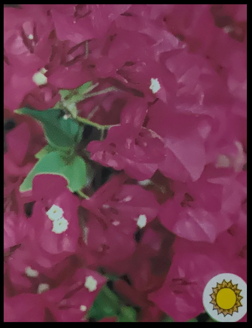 "FlowerPotNursery Barbara Karst Bougainvillea B. sp. Barbara Karst 4"" Pot"