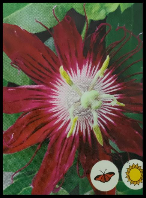 "FlowerPotNursery Lady Margaret Passion Vine Passiflora sp. L. M. Red 4"" Pot"