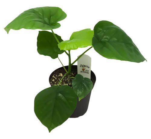 """FlowerPotNursery Umbellata Ficus Ficus umbellata 4"""" Pot"""