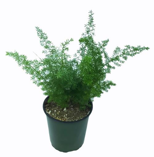FlowerPotNursery Asparagus Foxtail Fern Asparagus meyeri / aethiopicus 1 Gallon