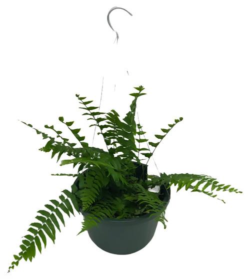 "FlowerPotNursery Macho Fern Nephrolepis biserrata 10"" Basket"