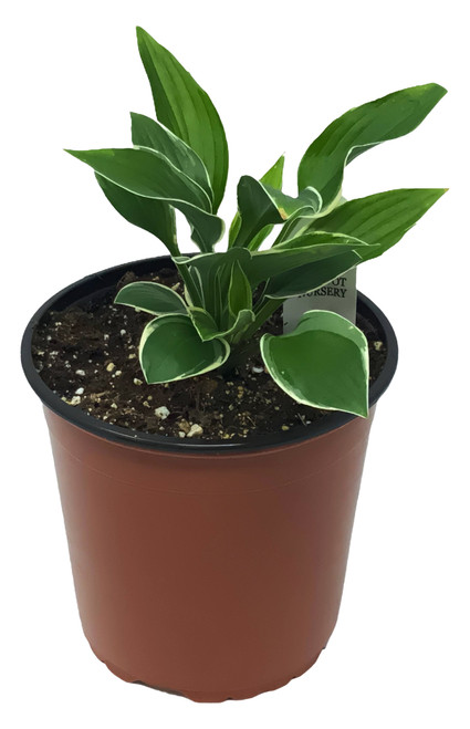 FlowerPotNursery Hosta Francee Hosta sp. Francee 1 Gallon Pot