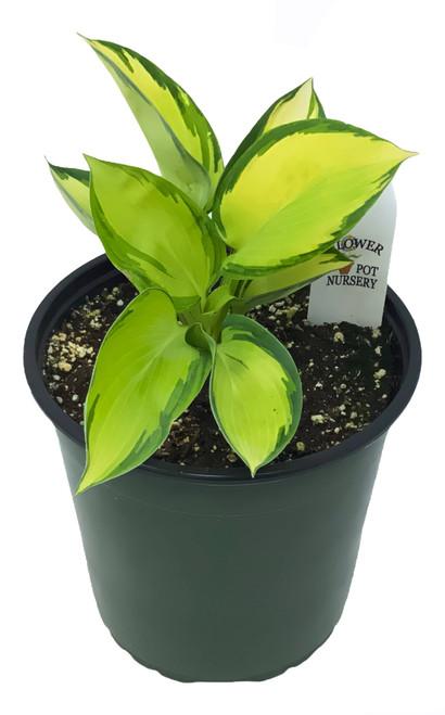 FlowerPotNursery Hosta Great Expectations Hosta sp. G. Expectations 1 Gallon Pot