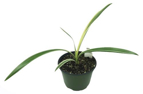 "FlowerPotNursery Variegated Beach Spider Lily H. littoralis Variegata 6"" Pot"