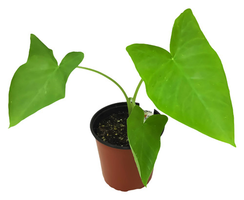 FlowerPotNursery Elephant Ear Colocasia spp. 1 Gallon Pot