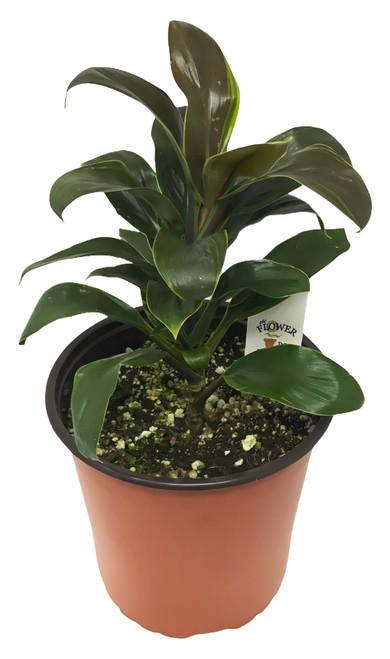 FlowerPotNursery Cordyline Cameroon Cordyline fruticosa Cameroon 1 Gallon Pot