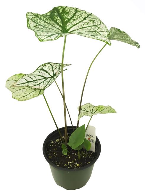 "FlowerPotNursery Candidum Caladium Caladium Candidum 6"" Pot"