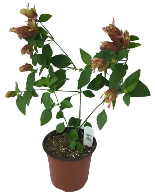 FlowerPotNursery Red Shrimp Plant Justicia brandegeana Red 1 Gallon Pot