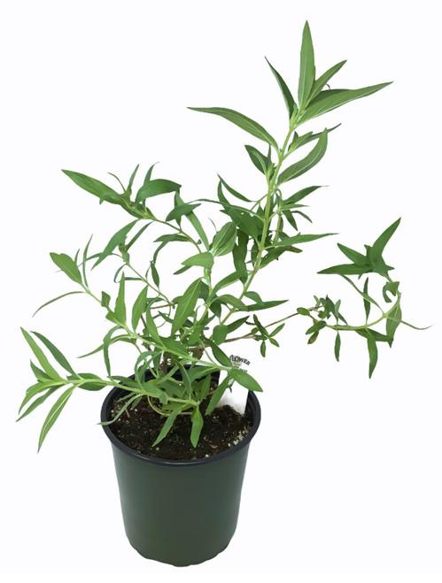 FlowerPotNursery Bat Face Plant Cuphea llavea Batface 1 Gallon Pot