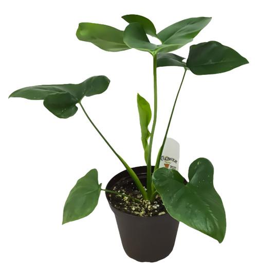 "FlowerPotNursery Finger Leaf Philodendron Philodendron Goeldii 4"" Pot"