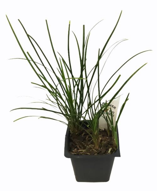 "FlowerPotNursery Mondo Grass Ophiopogon japonicus 3"" Pot"