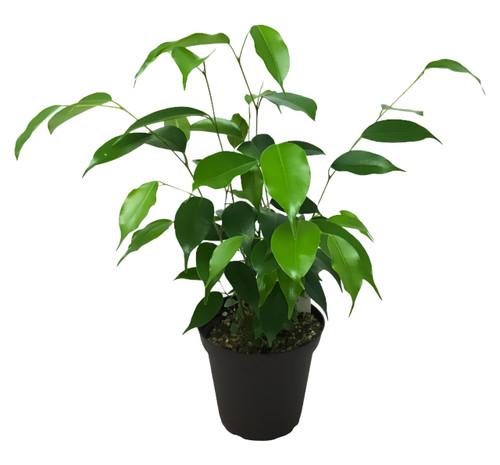"FlowerPotNursery Ficus Tree Ficus benjamina 4"" Pot"