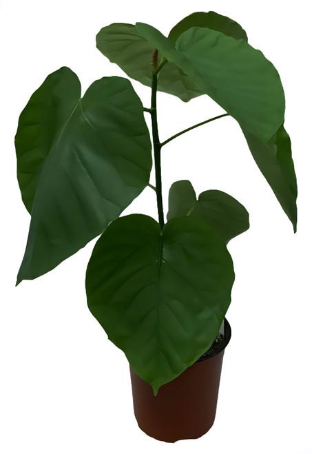 FlowerPotNursery Umbellata Ficus Ficus umbellata 1 Gallon Pot
