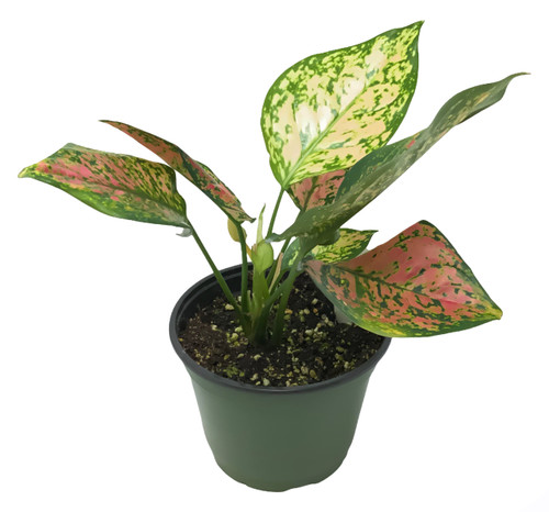 "FlowerPotNursery Chinese Evergreen Aglaonema Favonian A. sp. Favonian 6"" Pot"