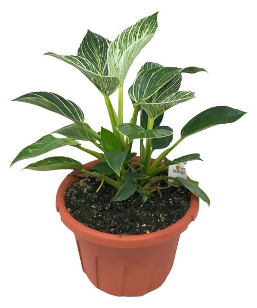 "FlowerPotNursery Philodendron Birkin Philodendron birkin 8"" Pot"